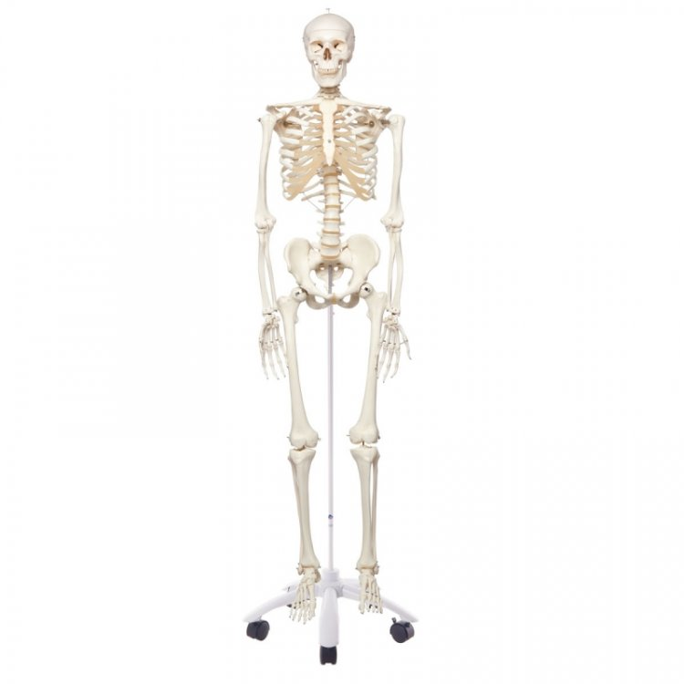 Σκελετός ανθρώπινος κλασικός