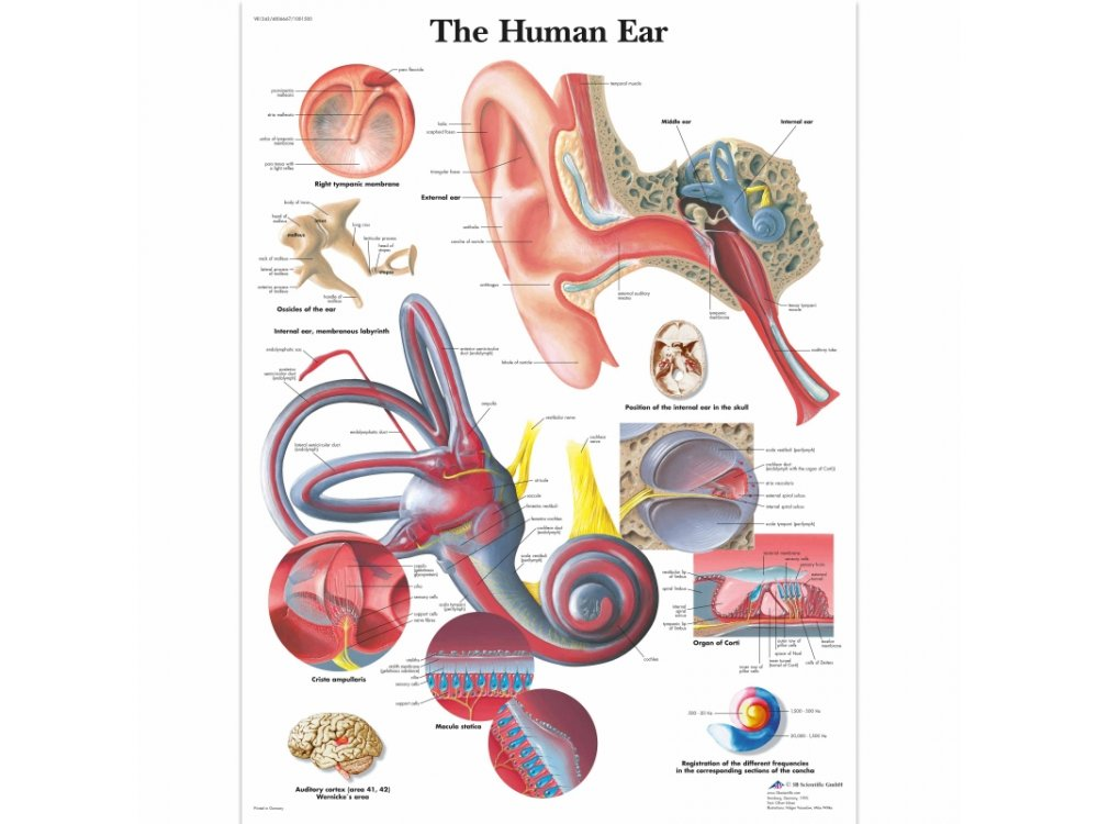 Human Ear Poster