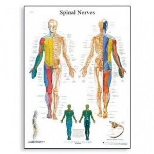 Αφίσα νευρικό σύστημα