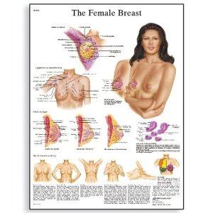Αφίσα ανατομίας γυναικείων μαστών