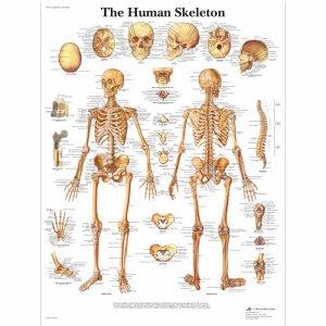 Αφίσα ανθρώπινου σκελετού