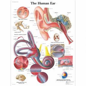 Αφίσα ανθρώπινου ωτός