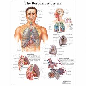 Αφίσα αναπνευστικού συστήματος
